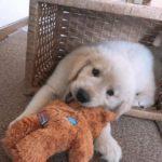 ゴールデンレトリバーの子犬はペットショップから購入してはイケない理由とは!?