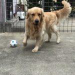 ゴールデンレトリバーとサッカーボールで遊ぶ