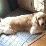 ゴールデンレトリバー(大型犬)玄関タイルは夏対策
