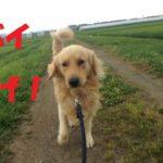 ゴールデンレトリバー雨の日の散歩。雨が降りそうなので急いで散歩に出かけるが結局引き返してくる飼い主