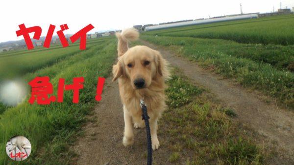 """<span class=""""title"""">ゴールデンレトリバー雨の日の散歩。雨が降りそうなので急いで散歩に出かけるが結局引き返してくる飼い主</span>"""