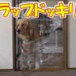 愛犬に【ラップドッキリ】仕掛けてみたが想定外の行動に驚いた【前編】