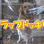 愛犬に【ラップドッキリ】リベンジ挑んでみた。【後編】