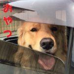 ゴールデンレトリバーは車で待てる子ちゃん
