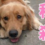 大型犬用のおもちゃが欲しい飼い主【Golden Retriever Leon】