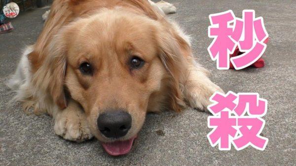 "<span class=""title"">大型犬用のおもちゃが欲しい飼い主【Golden Retriever Leon】</span>"