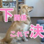 【犬のしつけ】ゴールデンレトリバーと遊ぶ時は負けないで。