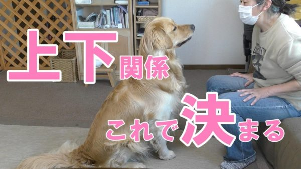 """<span class=""""title"""">【犬のしつけ】ゴールデンレトリバーと遊ぶ時は負けないで。</span>"""