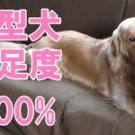 大型犬満足度100%市販の犬用おもちゃよりもコレが好き