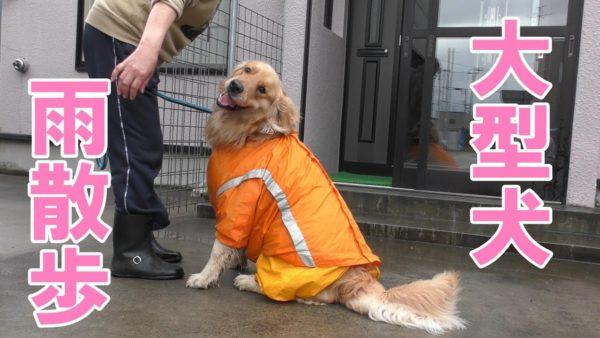 "<span class=""title"">【ゴールデンレトリバー】雨降りに大型犬の散歩に行くとこうなります</span>"